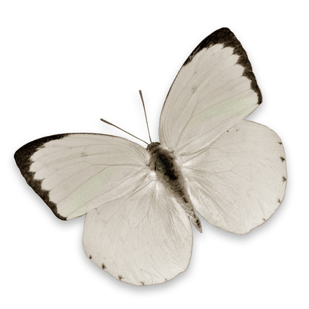 white butterfly: White Butterfly flying isolated on white background