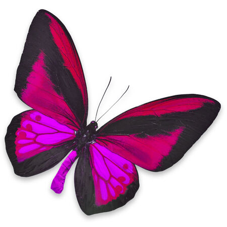 Beautiful Black and Pink butterfly isolated on white background