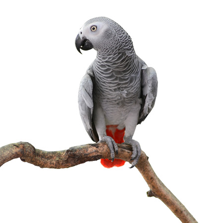 Beautiful grey parrot, African Grey Parrot (Psittacus erithacus), standing on a branch, white background photo