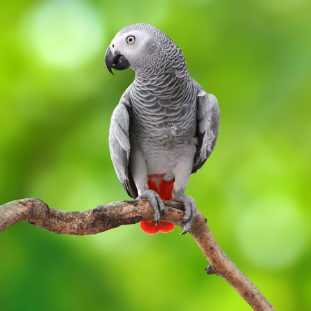 Beautiful grey parrot, African Grey Parrot (Psittacus erithacus), standing on a branch, green background