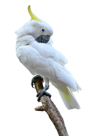 Sulphur crested Cockatoo, Cacatua galerita perched in front of a white background.  photo
