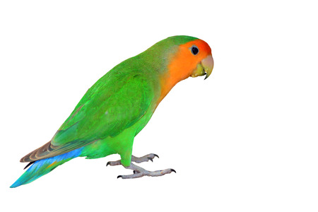 Lovebird isolated on white background Agapornis fischeri (Fischers Lovebird Clarified a morph)  photo