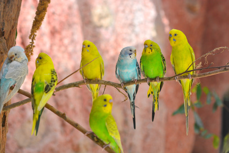 budgerigars australian parakeets standing on a branch photo