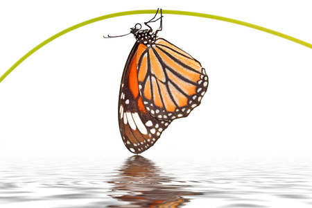 Beautiful monarch butterfly (Danaus genutia) perching on a branch isolated on white background  photo