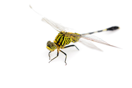 snaketail: Orthetrum sabina. Green Snaketail dragonfly on a white background.