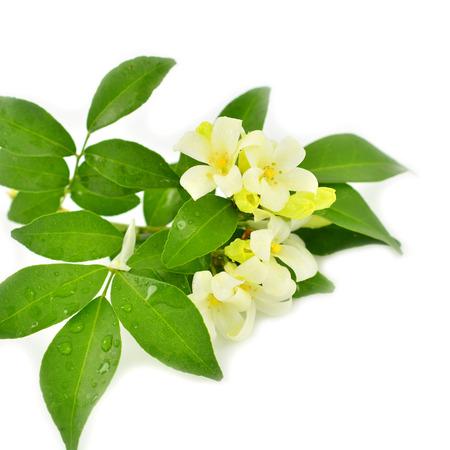 jessamine: Fiore bianco, Orang Jessamine (Murraya paniculata) o in Cina Box Tree, Andaman Satinwood, isolato su uno sfondo bianco
