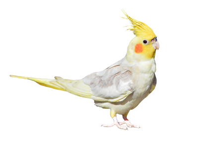 Cockatiel (Nymphicus hollandicus) isolated on white background
