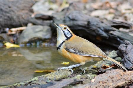 pectoralis: Greater Necklaced Laughingthrush (Garrulax pectoralis) is drinking water