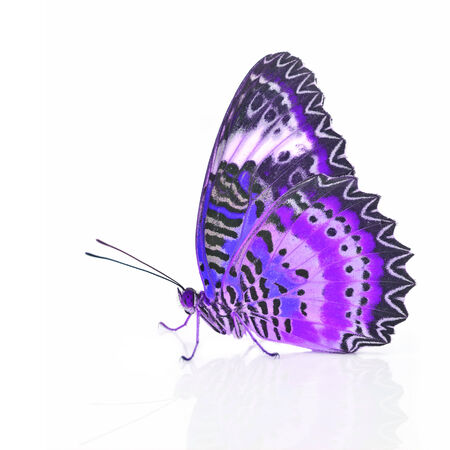 lacewing: Closeup a beautiful purple butterfly isolated on white background