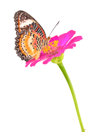 lacewing: Closeup a beautiful orange butterfly on flower (The Malay Lacewing)  Stock Photo