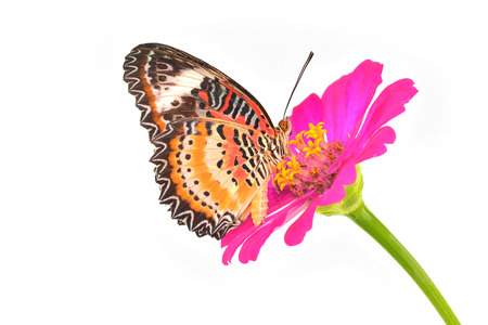 Closeup a beautiful orange butterfly on flower (The Malay Lacewing) photo