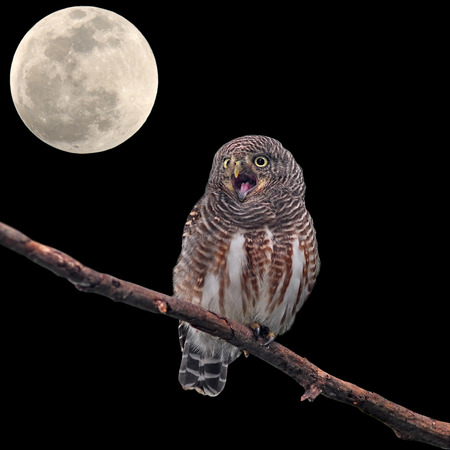 Asian Barred Owlet  Glaucidium cuculoides  and the moon  photo