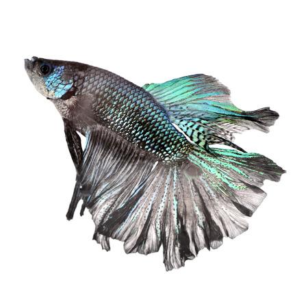 siamese fighting fish: siamese fighting fish Betta splendens isolated on white