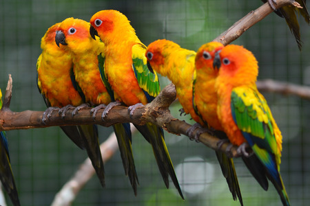 Six of Sun Conure Parrot perching on a branch photo
