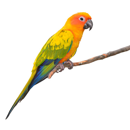 squealing: Sun Conure Parrot perching on a branch isolated on White Background