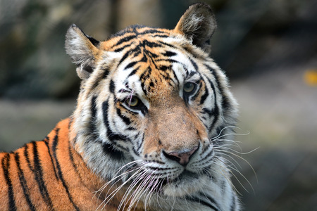 Close-up of beautiful head tiger photo