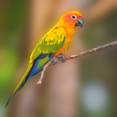 squealing: Sun Conure Parrot perching on a branch breath profile