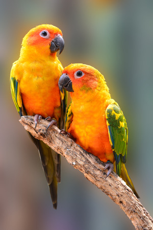 squealing: Couple of Sun Conure Parrot perching on a branch Stock Photo
