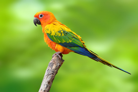 squealing: Sun Conure Parrot standing on the stump isolated on green background