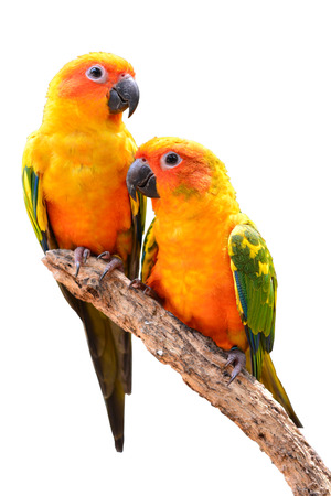 Couple of Sun Conure Parrot perching on a branch, white background