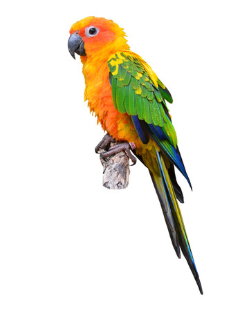 Sun Conure Parrot standing on the stump isolated on white background