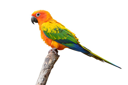squealing: Sun Conure Parrot standing on the stump isolated on white background