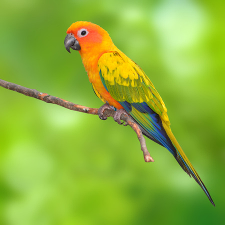 squealing: Beautiful Sun Conure Parrot bird perching on a branch on green background Stock Photo