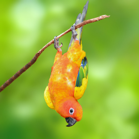 squealing: Six of Sun Conure Parrot perching on a branch, green background
