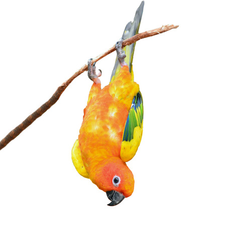 squealing: Six of Sun Conure Parrot perching on a branch, white background