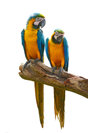 withe background: Couple of blue macaw parrots with withe background