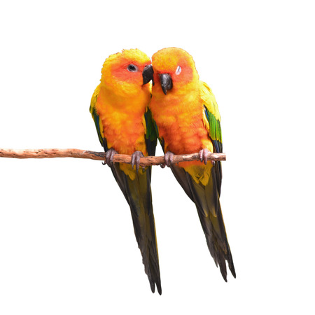 squealing: Couple of Sun Conure Parrot perching on a branch on white background Stock Photo
