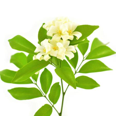 jessamine: Fiore bianco, Orang Jessamine (Murraya paniculata) o la Cina Box Tree, Andaman Satinwood, isolato su uno sfondo bianco Archivio Fotografico