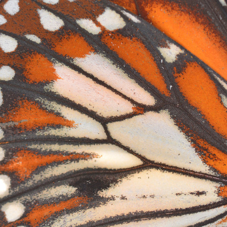 Macro close up of an Monarch Butterfly Wing  photo