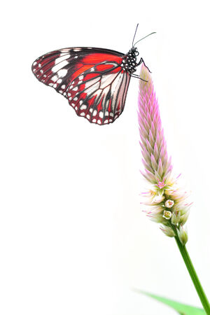Closeup a beautiful red butterfly on flower isolated on white background photo
