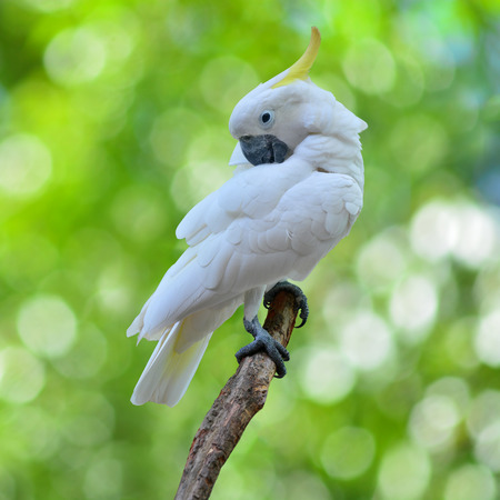 Sulphur crested Cockatoo, Cacatua galerita perched in front of a green background. photo