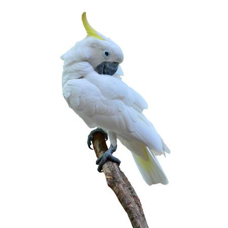 Sulphur crested Cockatoo, Cacatua galerita perched on white background. photo