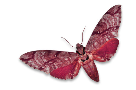 sphingidae: Beautiful red hawkmoth isolated on white background Stock Photo
