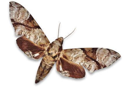 sphingidae: Hawkmoth isolated on white background