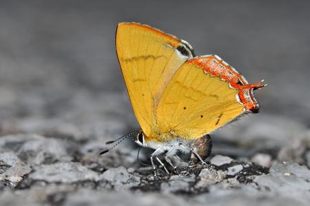 lycaeninae: Beautiful gold butterfly (Golden Sapphire, Heliophorus brahma), butterfly of Thailand Stock Photo