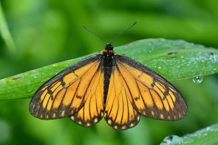 entomological: Beautiful yellow butterfly (Acraea issoria, Yellow Coster) on green leaves. Stock Photo