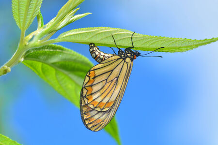 Beautiful butterfly (Acraea issoria, Yellow Coster) is laying eggs on the green leaves. photo