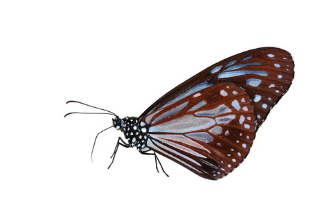 sita: Beautiful red butterfly (Chestnut Tiger, Parantica sita) on white background