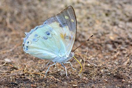 beautiful rare: Beautiful whiite butterfly (White Emperor, Helcyra heminea) very rare in Thailand