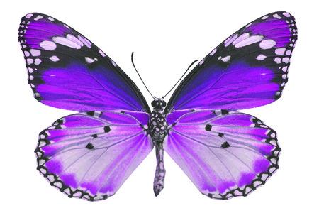 beautifu: Beautifu purple butterfly isolated on white background