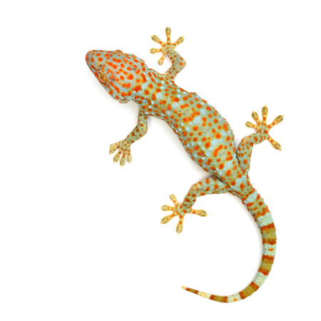 gecko isolated on white background Banque d'images