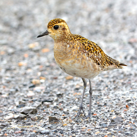 pluvialis: Pacific Golden-Plover (Pluvialis fulva), Bird of Thailand