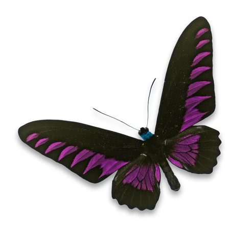 entomological: Beautiful black and pink butterfly isolated on white background