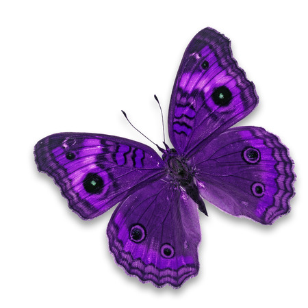 entomological: Beautiful purple butterfly butterfly isolated on white background