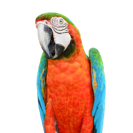 Beautiful colorful Scarlet Macaw parrot bird on white background photo