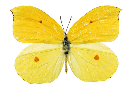 entomological: Beautiful yellow butterfly isolated on white background